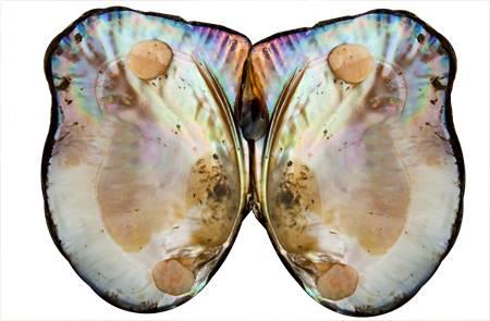 Hyriopsis cumingi - мида